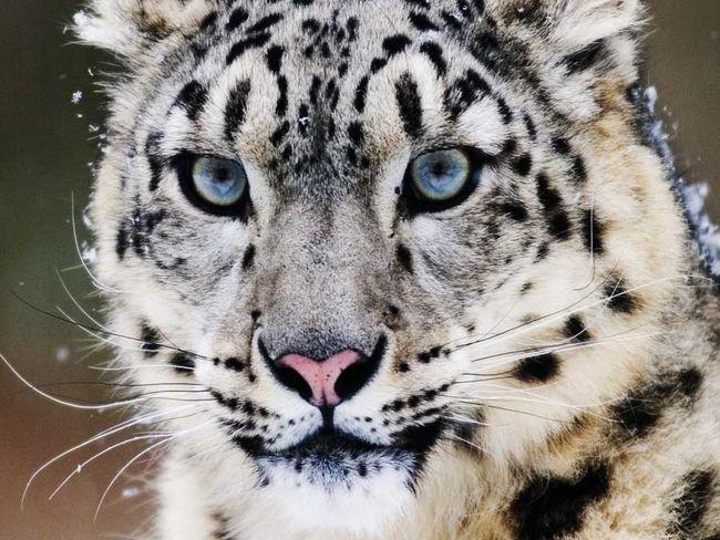 leopardo-nieves_plyima20161021_0032_5